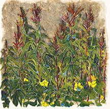 American Indian Garden, Corn, Beans, and Squash, by Ann Zahn