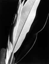 Imogen Cunningham at Howard Greenberg Gallery