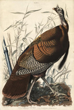 artline, art, artist, John James Audubon at The Old Print Shop